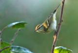 Bladkoning - Yellow-browed warbler, tuin Kalmthout, 03/10/2011
