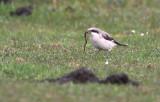 Kleine Klapekster - Lesser Grey Shrike, Koudekerke (NL)