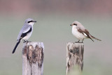 Klapekster - Great Grey Shrike + Kleine Klapekster - Lesser Grey Shrike