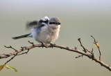 Klapekster - Great Grey Shrike