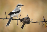 Klapekster met Heggenmus als prooi - Great Grey Shrike with Dunnock as prey