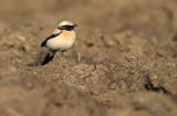 Woestijntapuit - Desert Wheatear (Burghsluis, NL)