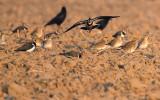 Goudplevier met Kievit - Golden Plover and Lapwing