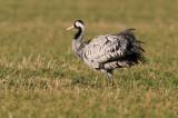 Kraanvogel - Crane (NL)