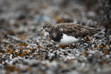 Steenloper - Turnstone