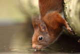 Eekhoorn - Red Squirrel