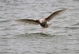 Grote Burgemeester - Glaucous Gull