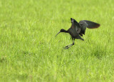 Zwarte Ibis - Glossy Ibis (NL - Bergen Op Zoom)