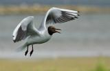 Kokmeeuw - Black-headed Gull