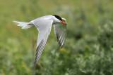 Visdief - Common Tern