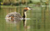Fuut - Great Crested Grebe