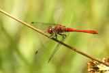 Bloedrode Heidelibel - Ruddy Darter - Sympetrum sanguineum