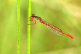 Koraaljuffer - Small Red Damselfly - Ceriagrion tenellum