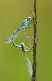 Watersnuffel - Common Blue Damselfly - Enallagma cyathigerum