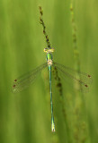 Tengere Pantserjuffer - Small Emerald Damselfly - Lestes virens