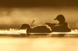 Dodaars - Little Grebe