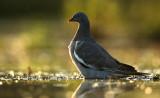 Wood Dove