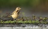 Gele Kwikstaart (juveniel) - Yellow Wagtail (juvenile)