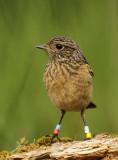 Roodborsttapuit - Stonechat (INBO-projectvogels)