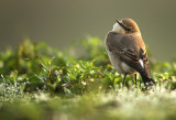 Tapuit - Common Wheatear