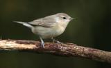 Tuinfluiter - Garden Warbler