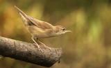 Snor - Savi's Warbler