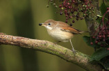 Grasmus - Whitethroat