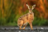Haas - Hare