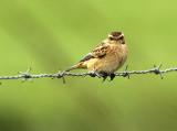 Paapje - Whinchat