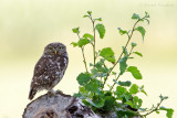 Owls - Uilen
