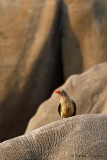 Red-billed Oxpecker - Roodsnavelossepikker