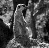 Meerkat Animal Pk.jpg