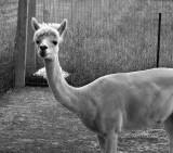 G - Alpaca -- 1.jpg
