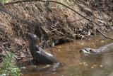 Otters, Loch Lomond NNR