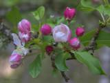 Crab Apple blossom, Loch Lomond NNR