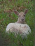 Fallow Deer, Inchcailloch, Loch Lomond
