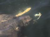 Loggerhead Turtle (caretta caretta), Iztuzu-Dalyan, Turkey