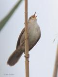 Cetti's Warbler, Dalyan, Turkey