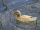 Domestic duckling, Dalyan, Turkey