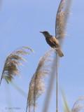 Great Reed Warbler, Lake Koycegiz, Turkey