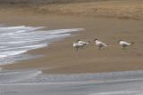 Gull-billed Tern, Iztuzu Beach-Dalyan, Turkey
