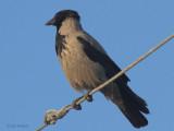 Hooded Crow, Dalyan, Turkey