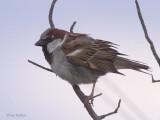 House Sparrow, Dalyan, Turkey