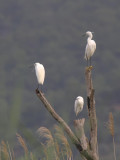 Little Egret, Dalyan, Turkey
