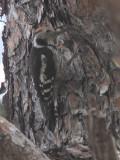 Middle Spotted Woodpecker, Iztuzu-Dalyan, Turkey
