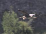 Purple Heron, Caunos-Dalyan, Turkey