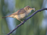Reed Warbler, Dalyan, Turkey