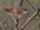 Reed Warbler (juvenile), Dalyan, Turkey