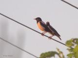 Rose-coloured Starling, Dalyan, Turkey