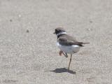 Ringed Plover, Iztuzu Beach-Dalyan, Turkey